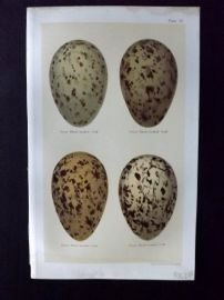 Seebohm 1896 Antique Bird Egg Print. Gulls 35